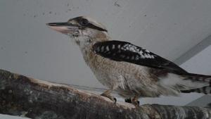 2-2  Kookaburra