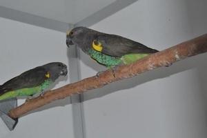 1-1 Meyer papegaai 2014-2012